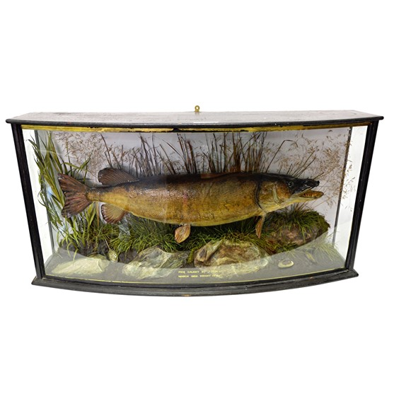 Taxidermy; A stuffed Pike, mounted... Image