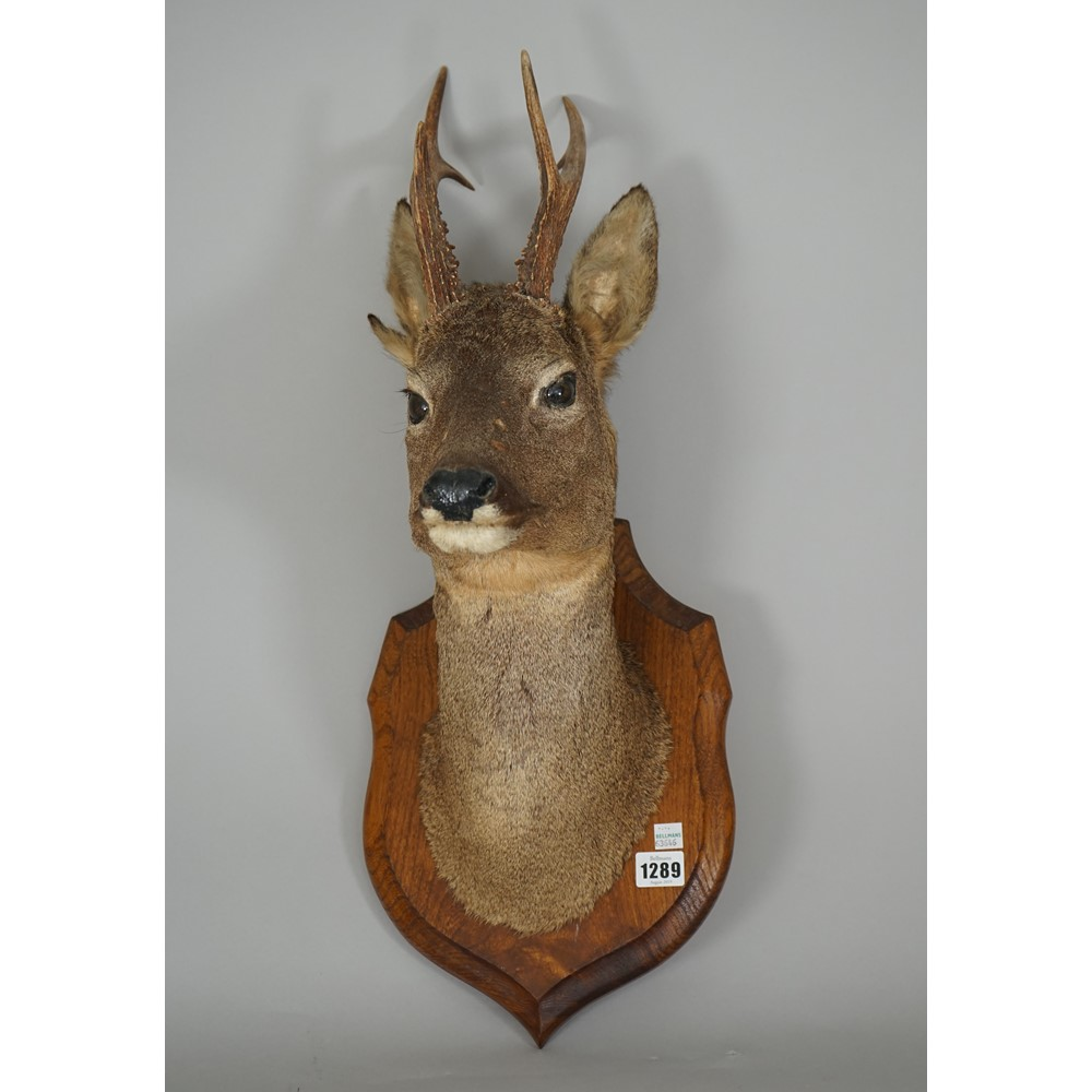 Taxidermy; a stuffed Roe deer head mounted on an oak shield back and a taxidermy gun rack... Image