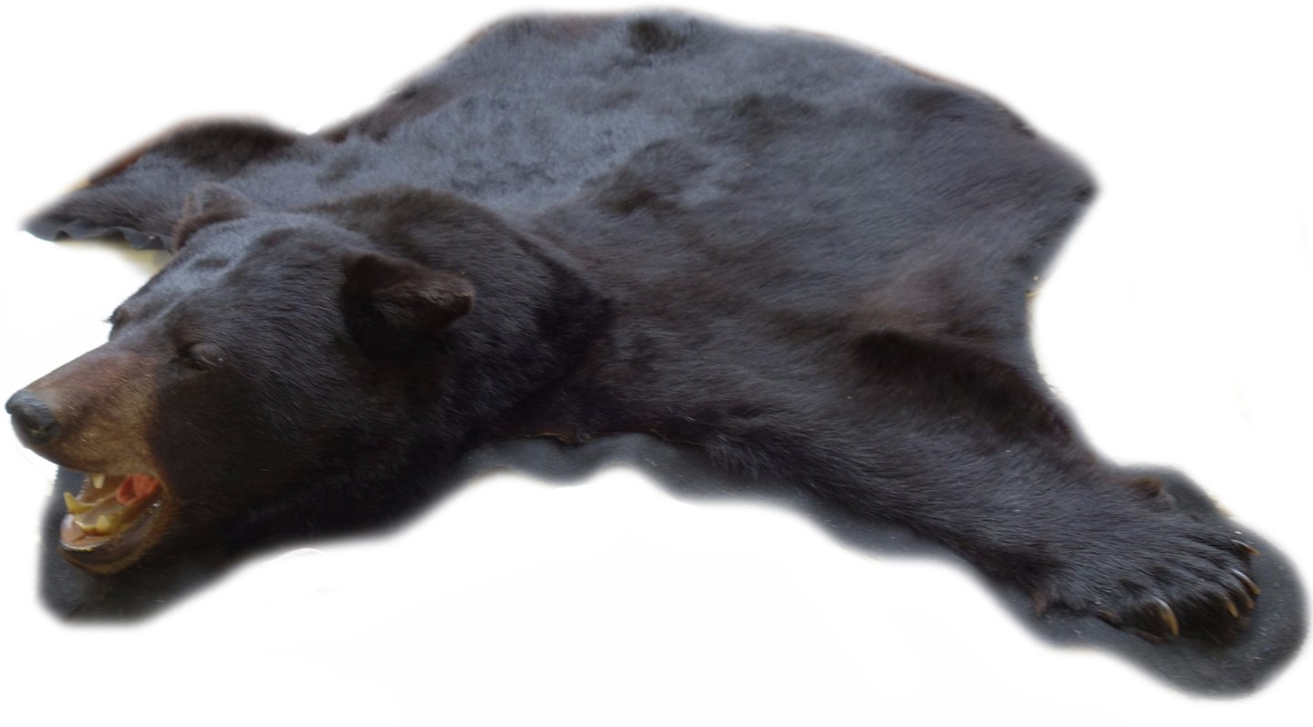 Taxidermy; a black bear rug with full... Image