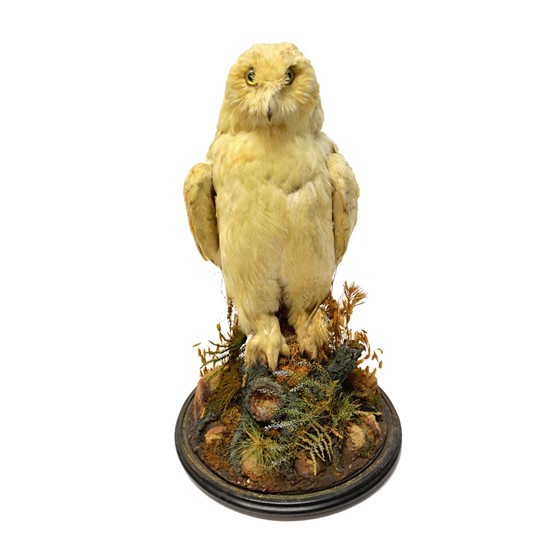 Taxidermy; a stuffed Snowy Owl, early... Image