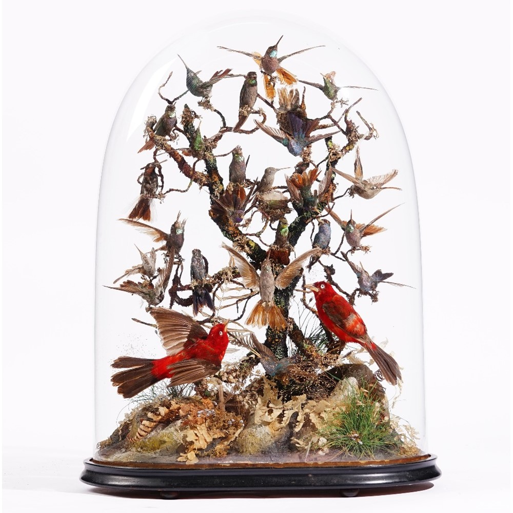 Taxidermy: a group of twenty five hummingbirds and two red tanagers, 1 Image