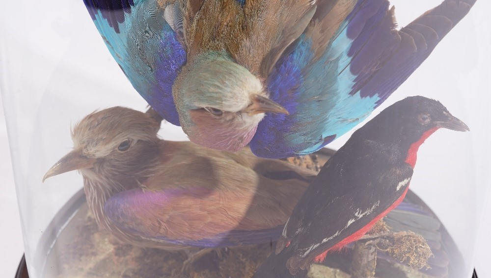 Taxidermy: three lilac breasted rollers, a pair of purple rollers and a pair of crimson breasted... Image